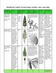 conifers 4