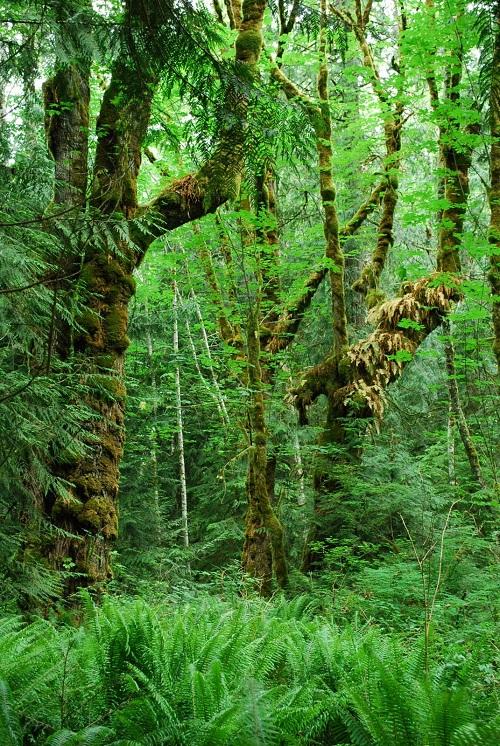 big leaf maple forest