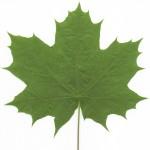 bigleaf-maple-leaf