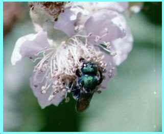 Osmia aglaia solitary bee