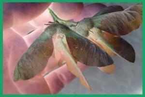 samaras-or-winged-fruit-of-oak-tree