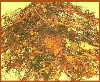 frankia-nodules-on-red-alder