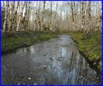 Red Alder Grove along stream