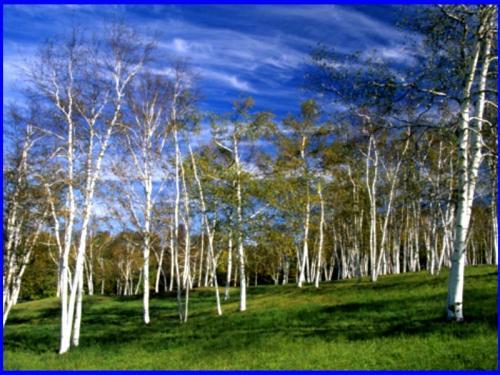 white birch grove