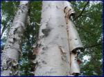 white birch hanging bark